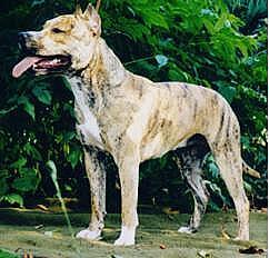 American Staffordshire Terrier Weibchen