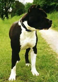 Bilder von American Staffordshire Terrier