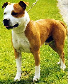 American Staffordshire Terrier Fotos Männchen