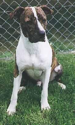American Staffordshire Terrier Männchen