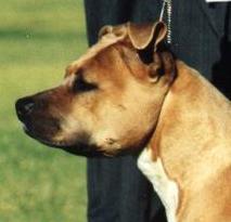 American Staffordshire Terrier Bilder