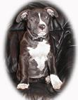 American Staffordshire Terrier Welpe Bilder Portrait
