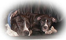 American Staffordshire Terrier im 2er Pack