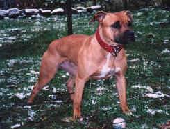 Fotos vom American Staffordshire Terrier bei der Jagd