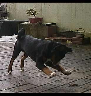 Appenzeller Sennenhund beim toben