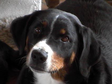 Foto von Appenzeller Sennenhund
