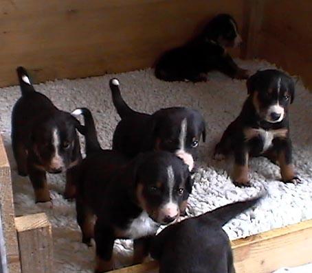 Appenzeller Sennenhund Welpen Bilder