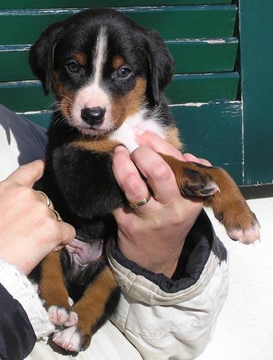 Appenzeller Sennenhund Welpe Bilder