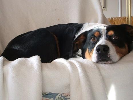 Appenzeller Sennenhund Fotos