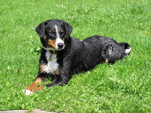 Appenzeller Sennenhund auf dem Rasen