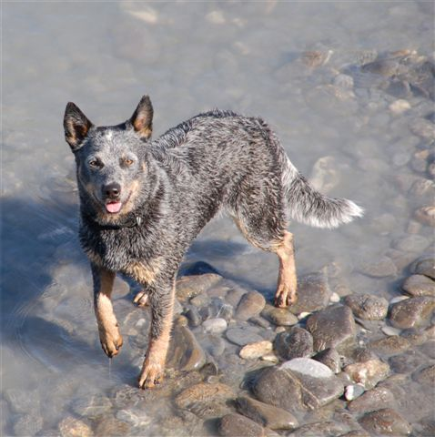 Australian Cattle Dog Hündin