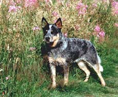 Foto von Australian Cattle Dog