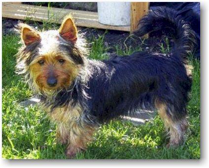 Bilder von Australian Silky Terrier