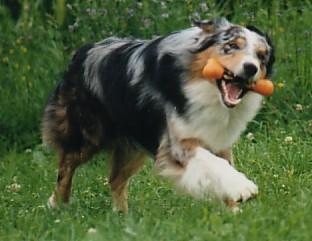 Australischer Schäferhund beim spielen