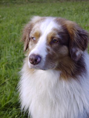 Australischer Schäferhund Portrait