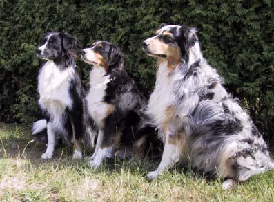 Australischer Schäferhund im 3er Pack