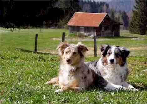 Australischer Schäferhund Bilder