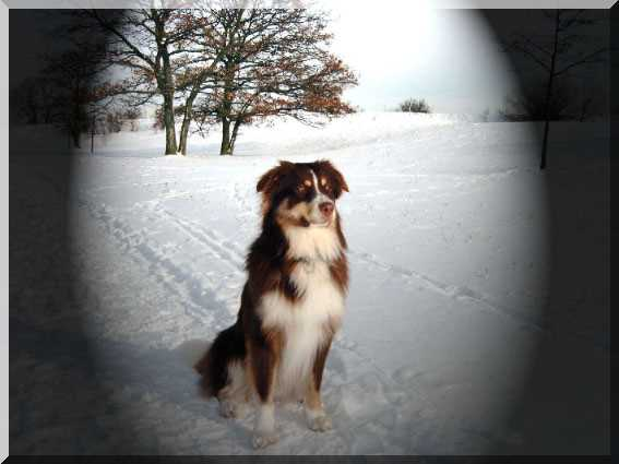 Australischer Schäferhund im Schnee