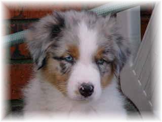 Australischer Schäferhund Welpe Bilder