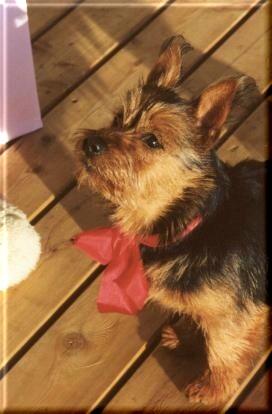 Australian Terrier Fotos