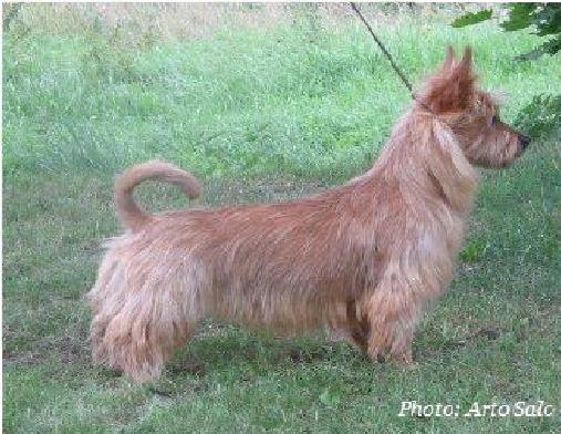 Australian Terrier auf dem Rasen