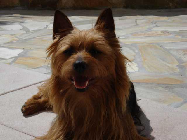 Australian Terrier Bilder