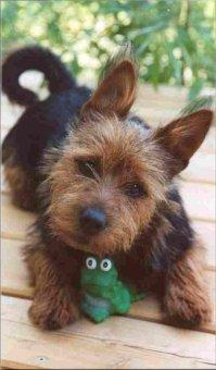 Australian Terrier Welpe Bilder