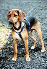 Serbischer Laufhund Bilder