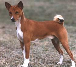 Basenji Weibchen