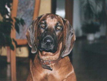 Bayerischer Gebirgsschweisshund Portrait