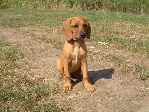 Bayerischer Gebirgsschweiss hund Welpe Bilder