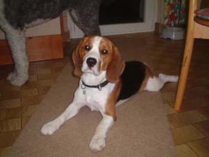 Beagle Rüde