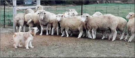Foto von Berger des pyrenees langhaar bilder