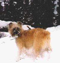 Berger des pyrénées langhaar im Schnee