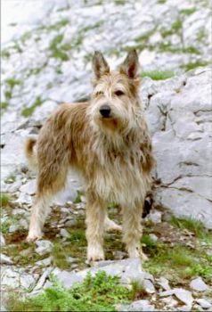 Berger de Picardie Hündin