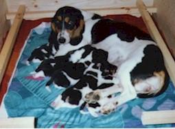 Berner-Niederlaufhund Welpen Bilder