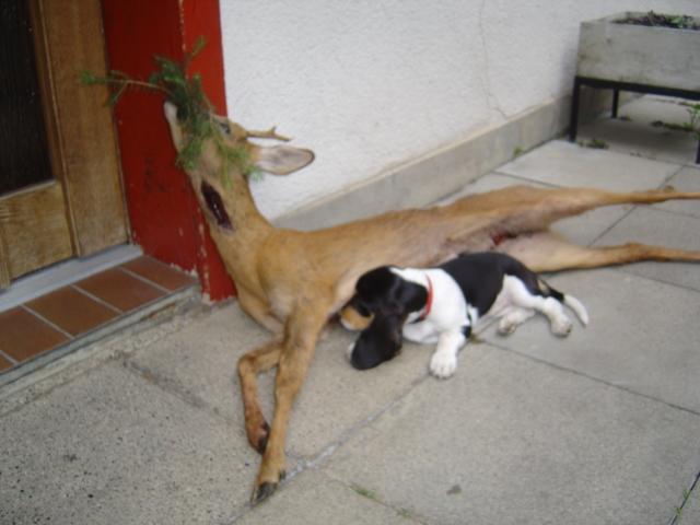 Berner Niederlaufhund Welpe