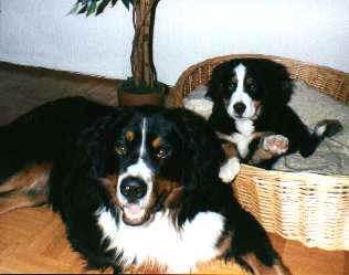 Berner Sennenhund im 2er Pack