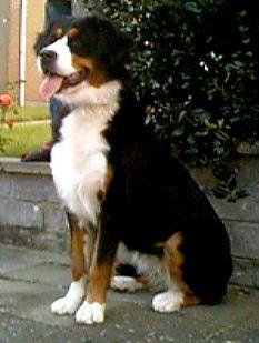 Bilder von Berner Sennenhund
