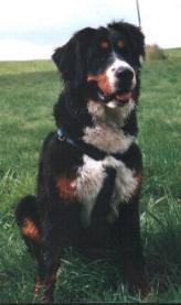 Bilder von Berner Sennenhund Rüde