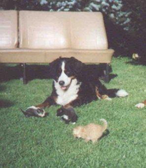 Berner Sennenhund Fotos