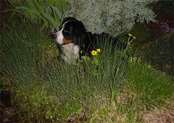 Berner Sennenhund Rüde im Wald