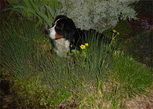 Berner Sennenhund Bilder