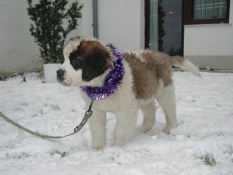 Bilder von Bernhardiner Welpe im Schnee