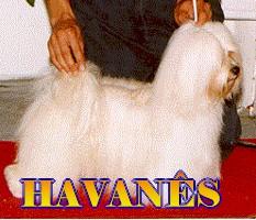 Havaneser Bilder
