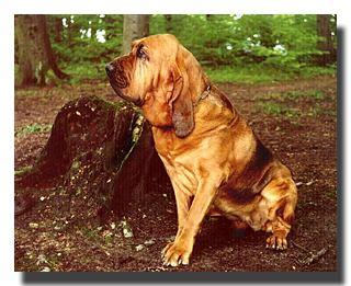 Foto von Bluthund