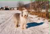 Bobtail Bilder im Schnee