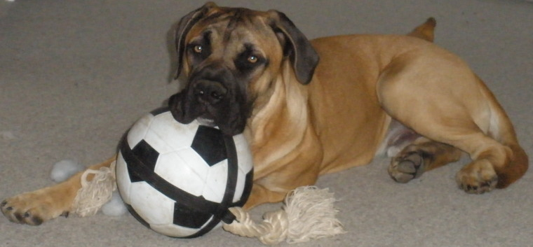 Bilder von Boerboel