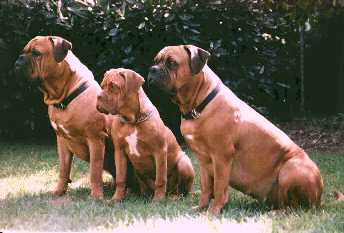 Dogue de Bordeaux im 3er Pack