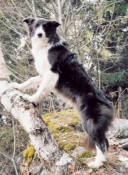 Border Collie im Wald